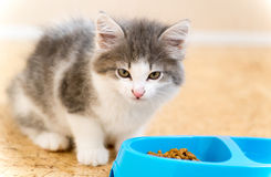 Kitten is eating dry food from a plate Royalty Free Stock Photography