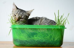 Kitten eating  grass Royalty Free Stock Photo