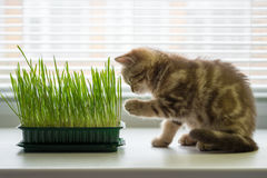 The kitten is eating grass. Vitamins for the cat Stock Image