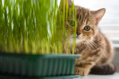 The kitten is eating grass. Vitamins for the cat Royalty Free Stock Images