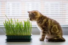 The kitten is eating grass. Vitamins for the cat Royalty Free Stock Photography