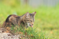 Kitten eating a juicy green grass in the garden in summer Royalty Free Stock Image