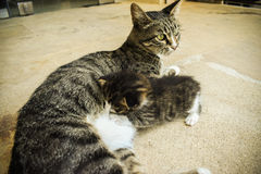 The kitten are eating into the mother& x27;s milk of cat. Royalty Free Stock Images