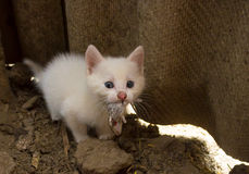 Kitten eating mouse Stock Photography