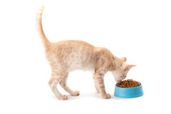 Kitten eating pet dried food Stock Images