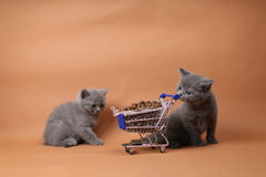 Kitten eating from a shopping cart with pet food Stock Image