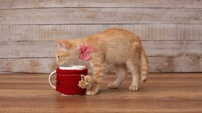 Kitten eating stolen food from deep mug stock video footage