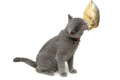 Kitten eats fish on a white background close-up. Royalty Free Stock Photo