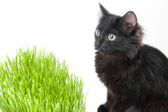 Kitten eats a grass. The black kitten eats a grass Stock Photos