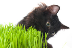 Kitten eats a grass. The black kitten eats a grass Royalty Free Stock Images