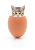 Kitten in egg on white background Stock Image