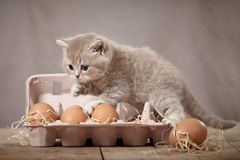 Kitten and eggs. British short hair kitten and eggs Royalty Free Stock Images