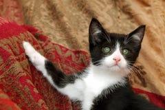 Kitten elegance royalty free stock image