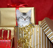 Kitten emerging from a Christmas box. Somali kitten emerging from a gold Christmas box, surrounded by gifts Stock Photography