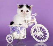 Kitten. Exotic kitten on a bicycle Stock Photo