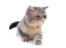 Kitten exotic shorthair Royalty Free Stock Photo