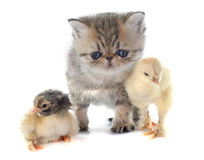 Kitten exotic shorthair and chick. In front of white background Stock Photo
