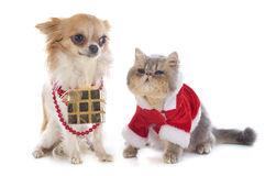 Kitten exotic shorthair and chihuahua Royalty Free Stock Photo