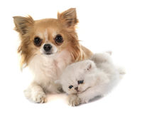Kitten exotic shorthair and chihuahua Royalty Free Stock Photos