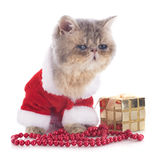 Kitten exotic shorthair Royalty Free Stock Photography