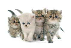 Kitten exotic shorthair Royalty Free Stock Photo