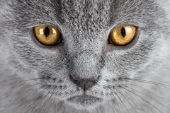 Kitten eyes Royalty Free Stock Photo