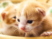 Kitten face Stock Image