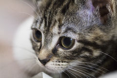 Kitten Face Royalty Free Stock Images