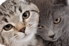 Kitten faces Royalty Free Stock Photos