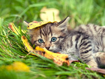 Kitten with fallen leaf on the head Royalty Free Stock Images