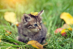 Kitten with fallen leaf on the head Royalty Free Stock Image