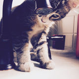 Kitten at Faucet. Maincoon kitten watching water drip from a faucet Stock Image