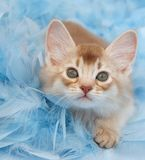 Kitten in Feathers royalty free stock photos