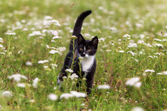Kitten in field. With grass and flowers Stock Photography