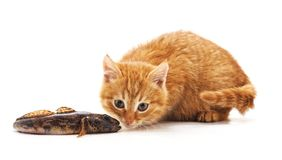 Kitten and fish royalty free stock image