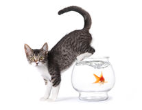 Kitten On a Fishbowl. With Shocked Goldfish in Water Royalty Free Stock Photo