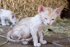 Kitten with fleas Royalty Free Stock Photo