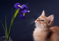 Kitten and flower. Curious kitten thinks flower Lily stock image