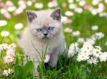 Kitten on flower lawn Royalty Free Stock Images