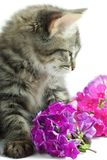 Kitten with flowers Stock Photography