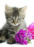 Kitten with flowers. Portrait of little kitten with flowers on white background Royalty Free Stock Images