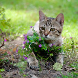 Kitten with flowers. Little kitten playing at the meadow among the flowers Royalty Free Stock Image