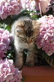 Kitten in flowers. A Bengal kitten playing in flowers in the sun Royalty Free Stock Images