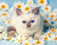 Kitten in flowers. Cute little color point kitten sitting on chamomile flowers Royalty Free Stock Photos