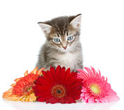 Kitten in flowers. Stock Image