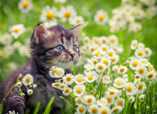 Kitten in flowers Royalty Free Stock Images