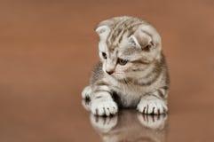Kitten. Fluffy brown  beautiful  kitten, breed scottish-fold,  close portrait  on brown  background  ,  look down Stock Image
