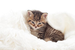 Kitten on a fluffy white veil Stock Image