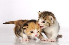 Kitten Friends Royalty Free Stock Photography