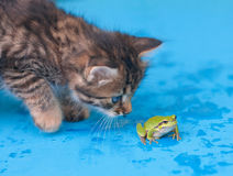 Kitten and frog. Kitten looking at the little green frog Royalty Free Stock Images